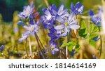 violet hepatica nobilis  first... | Shutterstock . vector #1814614169