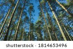 bottom view of the coniferous... | Shutterstock . vector #1814653496