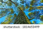 bottom view of the coniferous... | Shutterstock . vector #1814653499