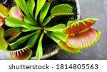 Venus Flytrap  Carnivorous...