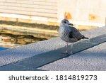 Grey Seagull Bird Is Walking...