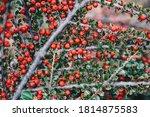 Ripe Red Cotoneaster  Berries...
