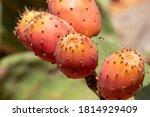 Prickly Pear Cactus Close Up...