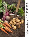 Small photo of Bunch of organic beetroot and carrot, freshly harvested potato on soil in garden. Autumn harvest of vegetables, farming