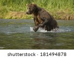 Small photo of Brown Bear aka Grizzly Bear, Ursus arctos middendorffi, chasing salmon in river in Geographic Harbor, Katmai National Park, Alaska, USA