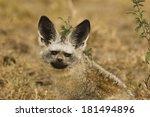 bat eared fox  otocyon... | Shutterstock . vector #181494896