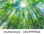 Under A Large Bamboo Forest