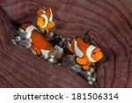 False Clownfish  Amphiprion...