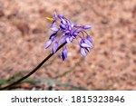 Purple Wildflower Of Western...