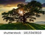 Cedar of Lebanon, La Morra, Langhe, Piedmont, Italy