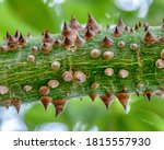 Texture Thorns In A Green Tree...