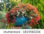 Vivid Flowers Begonia...