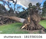 Pine Tree Uprooted By Hurricane ...