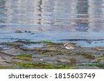 Bird Kentish Plover Walks Along ...