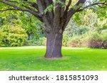 Bicentennial Oak Tree In A City ...