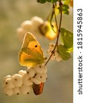 A Yellow Butterfly Colias Hyale ...