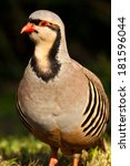 Small photo of Chukar Partridge or Chukar (Alectoris chukar)