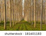 Amazing Poplars Alley In An...