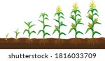corn in the field stages of... | Shutterstock .eps vector #1816033709