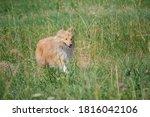 Cute Red Orange Dog Sheltie...
