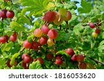 Fresh Red Gooseberry On A...