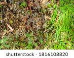 The White Clover  Trifolium...