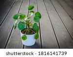 Pilea Peperomioides  Known As...