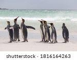 King Penguins Walking On The...