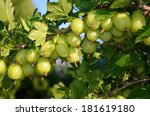 Gooseberry Fruit Bush Close Look