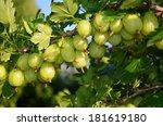 Gooseberry Fruit Bush Close Look