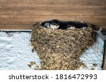 Young Baby Swallows In Nest