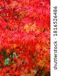 Red Acer Palmatum   Palmate...