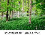 forest with wild garlic flowers | Shutterstock . vector #181657934