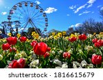 Small photo of Colorful beautiful tulip flowers in the foreground with ferris wheel in the background at Floriade Festival Commonwealth Park Canberra ACT Australia in September spring with blue sky in daylight