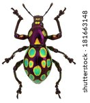 Small photo of amazing exotic weevil Pachyrhynchus gemmatus