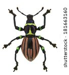 Small photo of exotic weevil Pachyrhynchus loheri