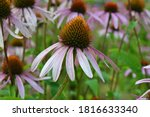 Echinacea purpurea  eastern...