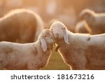 Cuddling time for two young lambs standing face to face in the gentle light of the golden hour. Landscape format