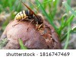A Large Hornet Eats A Fallen...