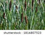 Typha Latifolia  Broadleaf...