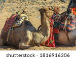 Two Of Camels Resting On The...