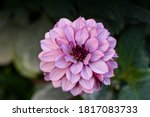 Blooming Pink Dahlia In The...