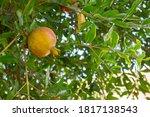 Pomegranate Ripens On A Tree I...