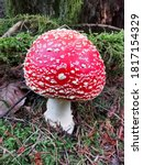 Beautiful Single Toadstool In...