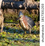 A Green Heron catching a minnow in a marsh.