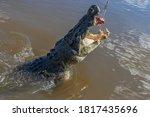 A Wild Salt Water Crocodile...