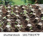 Small Plats Growing In Carton...