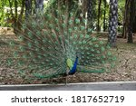A Peacock Are Strut With Tail...