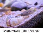 Small photo of Shell dweller from Lake Tanganyika.