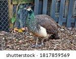 Peacock  Pavo Cristatus  Adult...